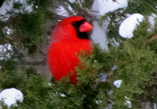 original cardinal photo by Herb Rosenfield of the AFCCenter of Cheshire and Danbury, CT