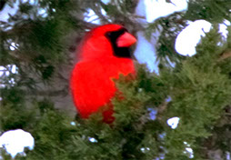 original photo of a red cardinal by Herb Rosenfield of the AFCCenter of Cheshire, CT.