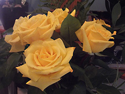 original photo of yellow roses by Herb Rosenfield of the AFCCenter of Cheshire, CT.